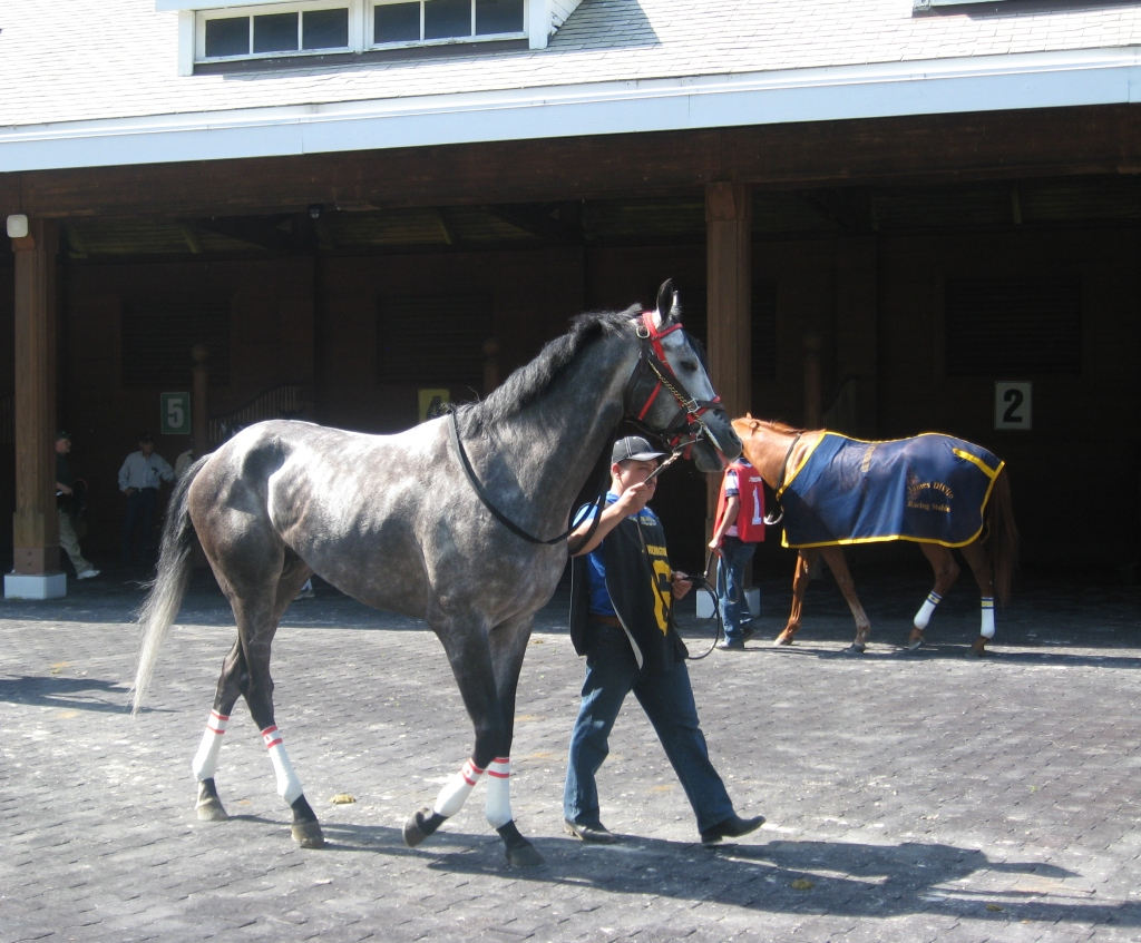 Away Westward stretches his legs in the paddock before today's Arlington 7th.