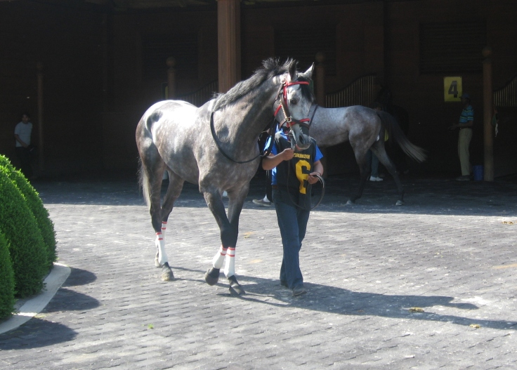 Away Westward's mane blows in the breeze.  The other grey in the race, Xtra Lovin, walks behind him.