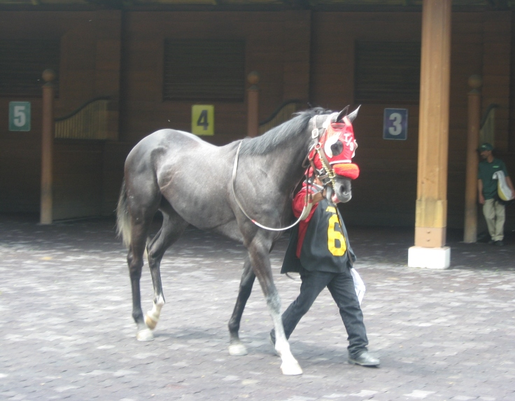 Aptly named Bold N Grey gets ready for Sunday's third race.  Sent off at 5/1, the Tom Swearingen trainee broke her maiden emphatically.
