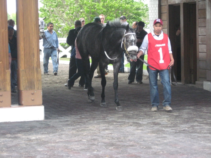 Giacallure walks into the paddock before Monday's 8th.  He meant business today.