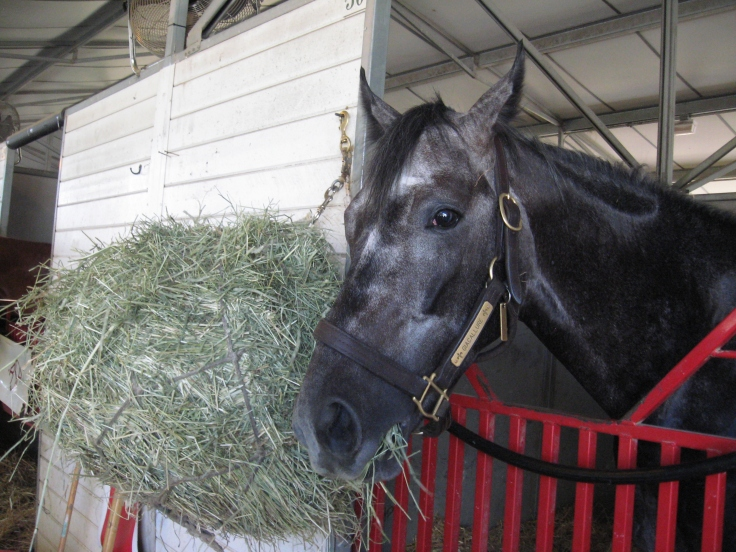 Giacallure also likes hay.  Once he was back in his stall, he could not stop munching on his hay net.