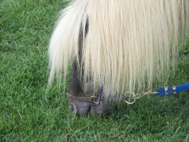 Little Silver Charm enjoys some grass, and lets his flashy purple streak peep out of his mane.