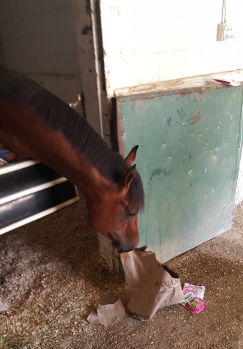 Lucky Lindy prepares for the Hawthorne Derby by destroying a bag full of peppermints and cat treats the day before the race.