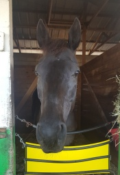 Devil's Rose, hoping for a mint or two, pokes her nose out of her stall.