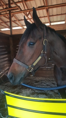 My Mertie relaxes in her stall. She didn't race the weekend I was there, but ran second in the Minaret Stakes the following Saturday.