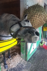 Something Kinky is a serious racehorse...who will do just about anything if she thinks she's going to get a peppermint out of it.